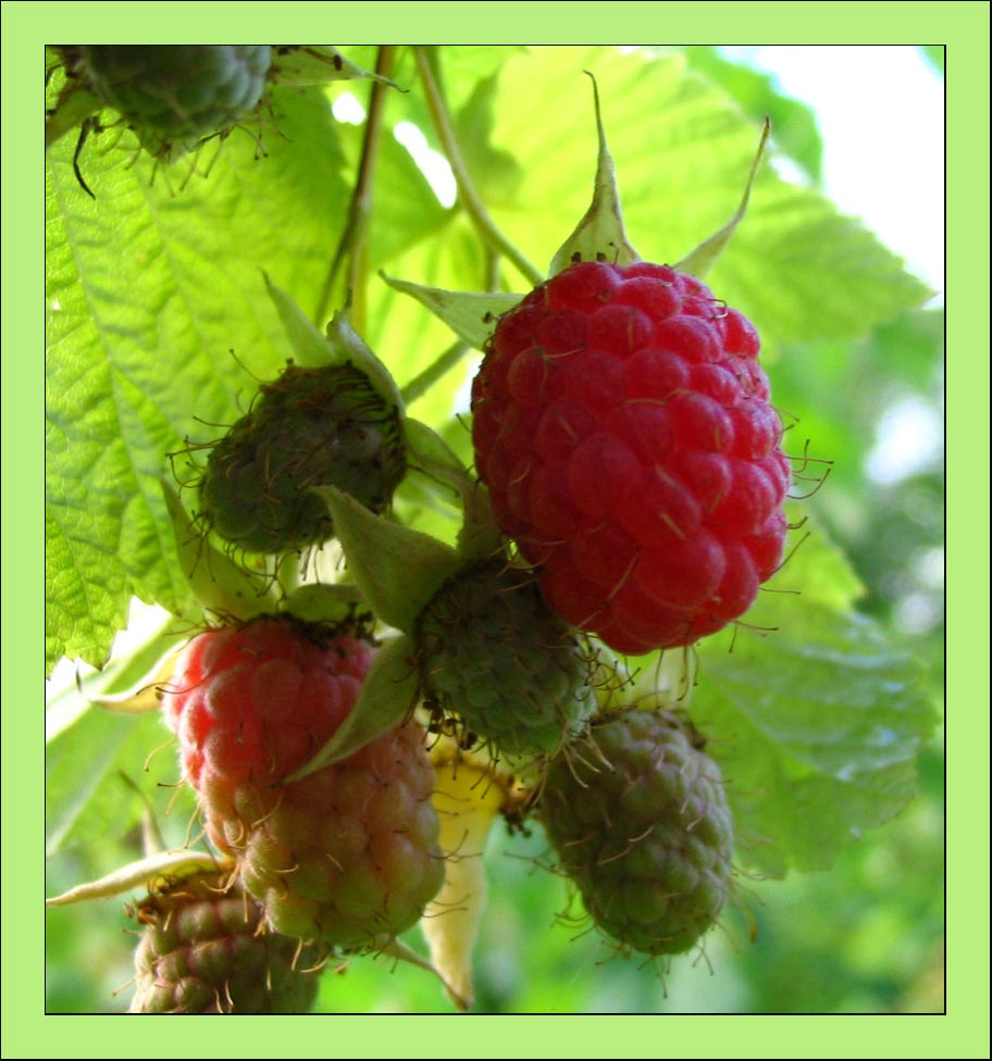 "photo ""raspberry (framboesa)"" tags: macro and close-up, nature, flowers"