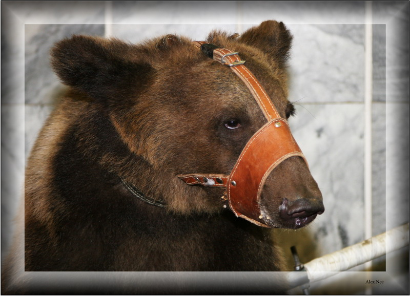 "photo ""Portrait Circus Bears"" tags: nature, misc., wild animals"