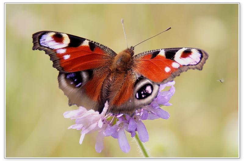 """фото """"Бабочка"""" метки: природа, макро и крупный план, насекомое"""
