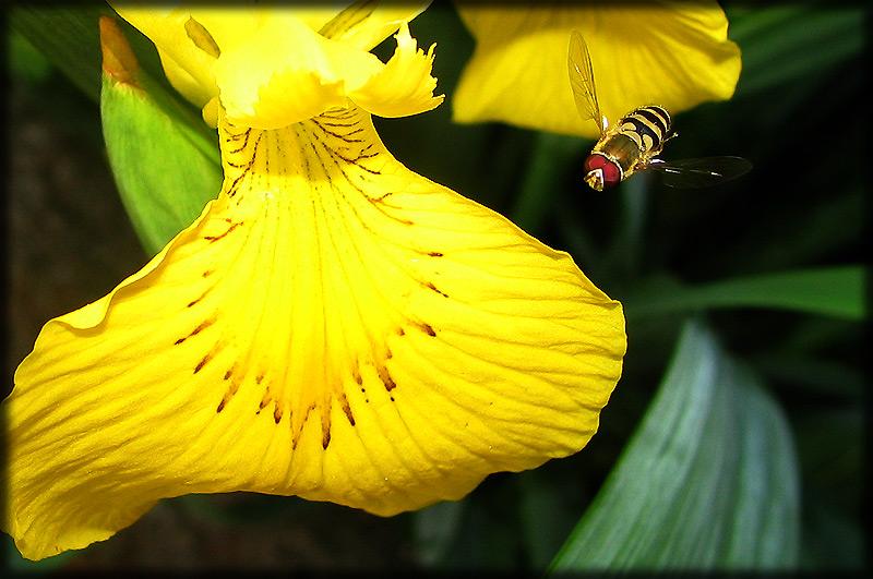 """фото """"К посадке готов :)"""" метки: природа, насекомое, цветы"""