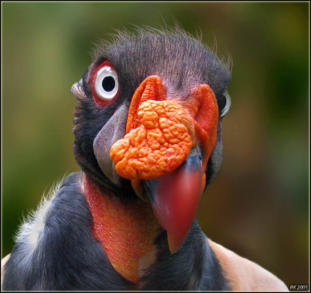 """photo """"King Vulture"""" tags: nature, wild animals"""