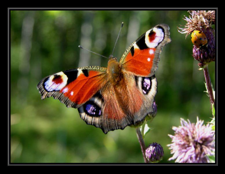 """фото """"На солнышке."""" метки: природа, насекомое"""