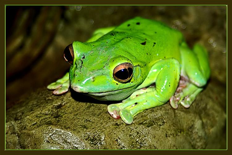 "photo ""Tsarevna - a frog"" tags: nature, macro and close-up, wild animals"