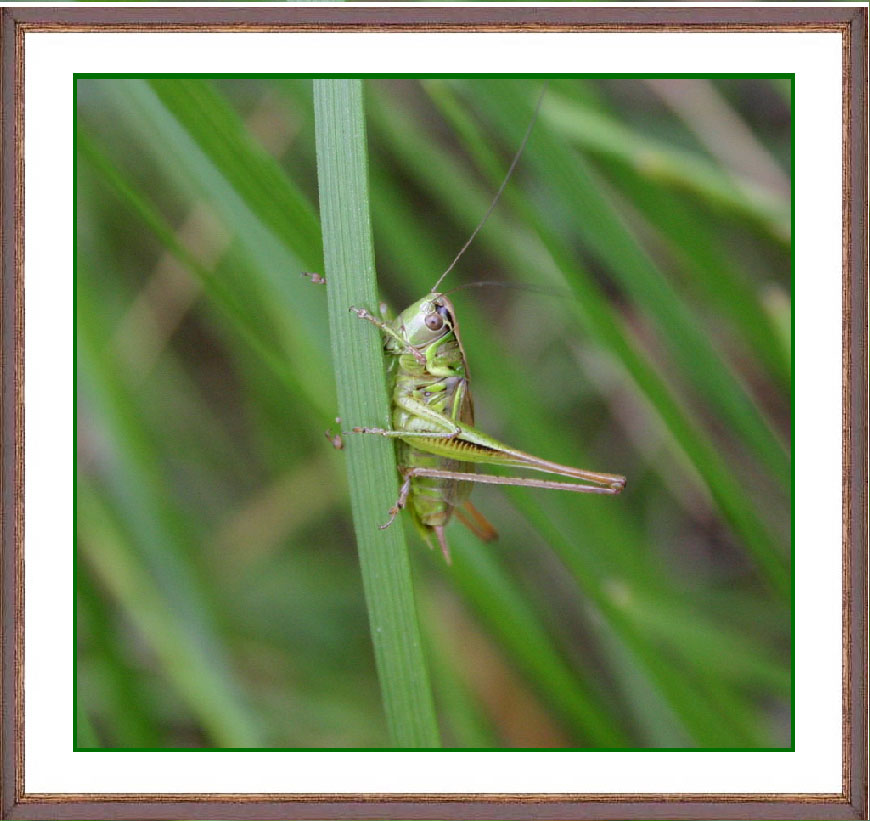 "photo ""In a grass the grasshopper sat..."" tags: misc.,"