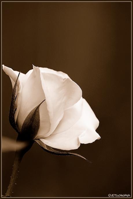 "photo ""Tea rose"" tags: nature, flowers"