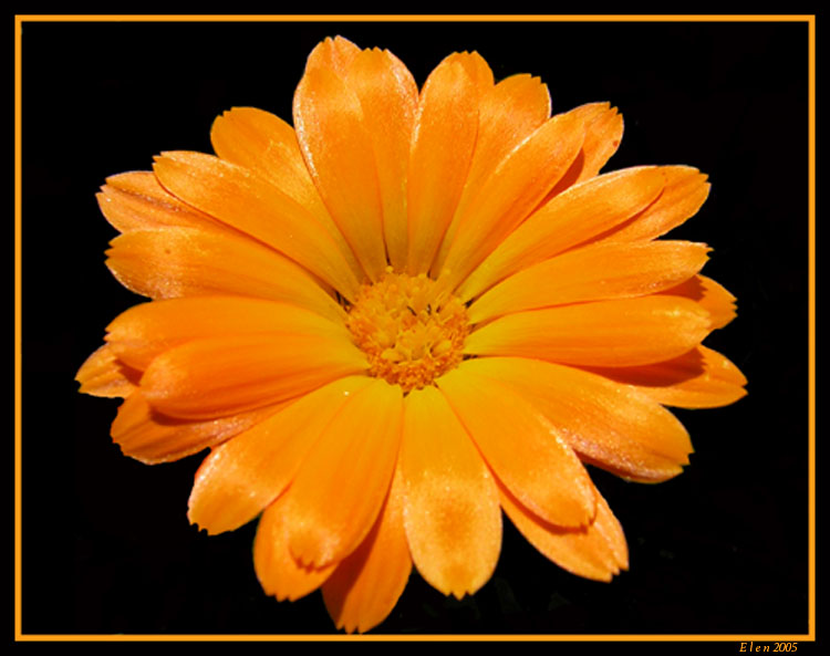 "photo ""simply orange"" tags: macro and close-up, nature, flowers"