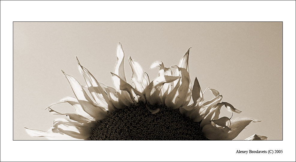 "photo ""The Sunflower is rising"" tags: nature, black&white, flowers"