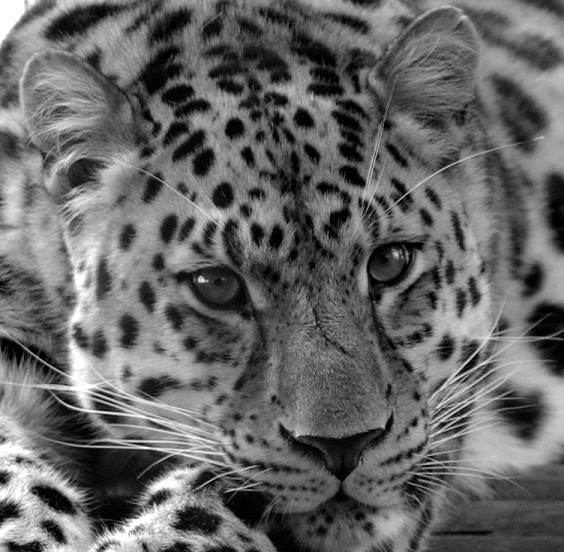 "photo ""leopard"" tags: nature, wild animals"