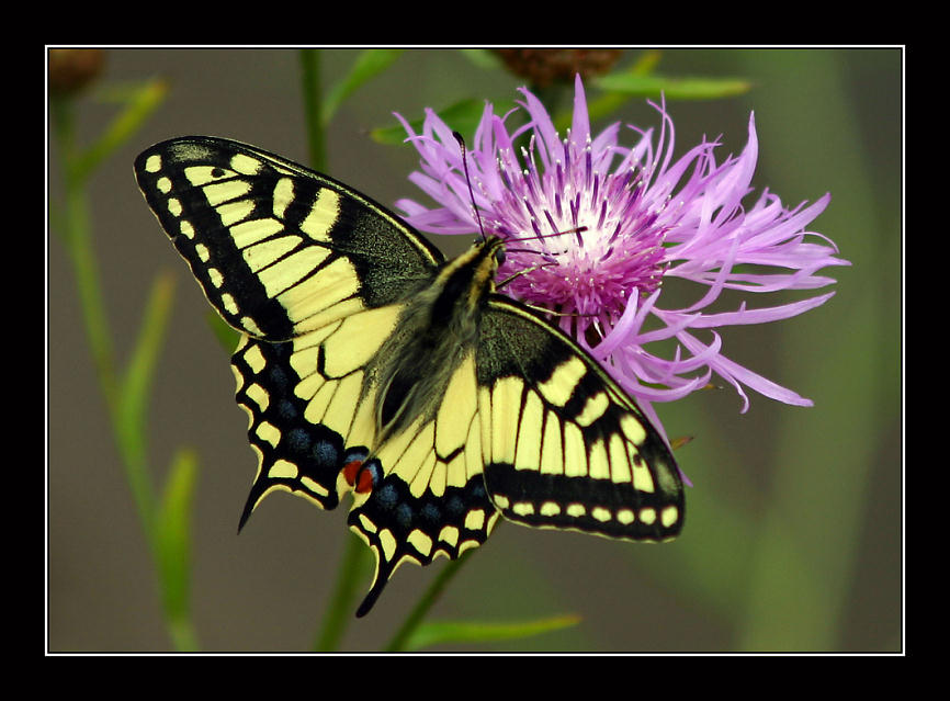 "photo ""Machaon"" tags: macro and close-up, nature, insect"