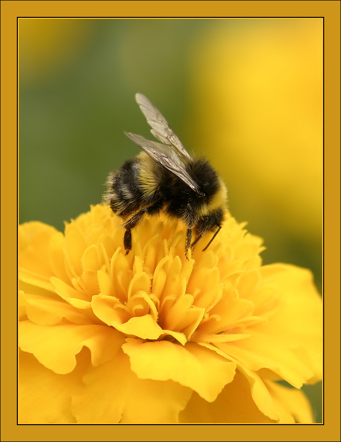 """photo """"Bumblebee in yellow"""" tags: nature, macro and close-up, insect"""