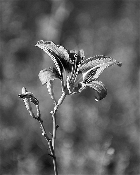 "photo ""3D"" tags: black&white, nature, flowers"