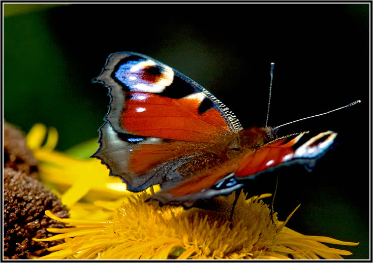 "photo ""A butterfly"" tags: macro and close-up, nature, insect"