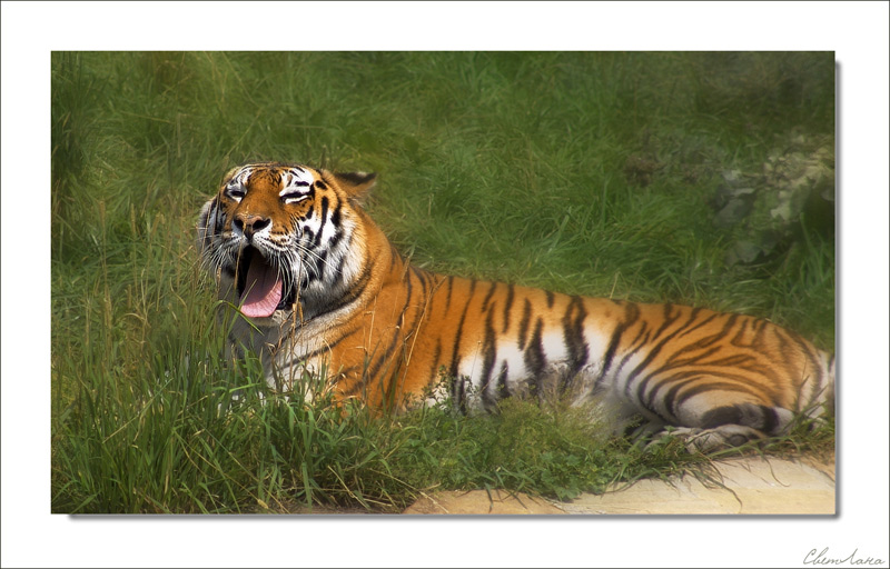 "photo ""tiger"" tags: nature, wild animals"