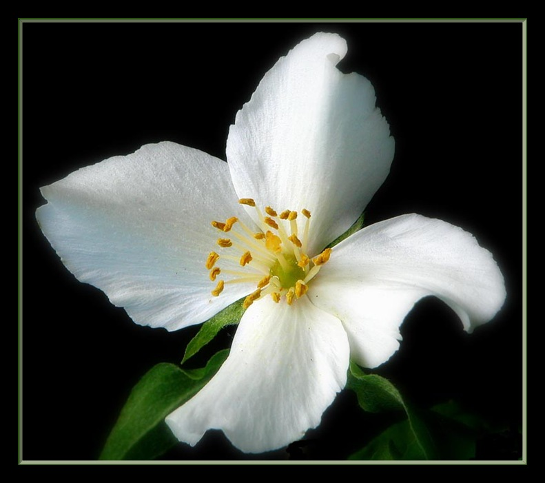 "photo ""philadelphus virginal white"" tags: nature, flowers"