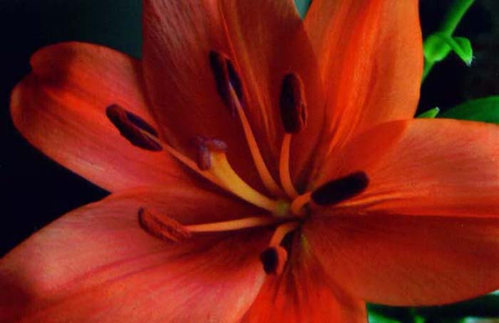 "photo ""Tiger Lily"" tags: macro and close-up, nature, flowers"