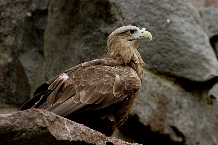 "photo ""Eagle"" tags: nature, wild animals"