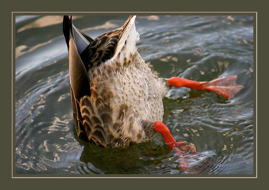 "photo ""Duck...back-axle..."" tags: humor, nature, wild animals"