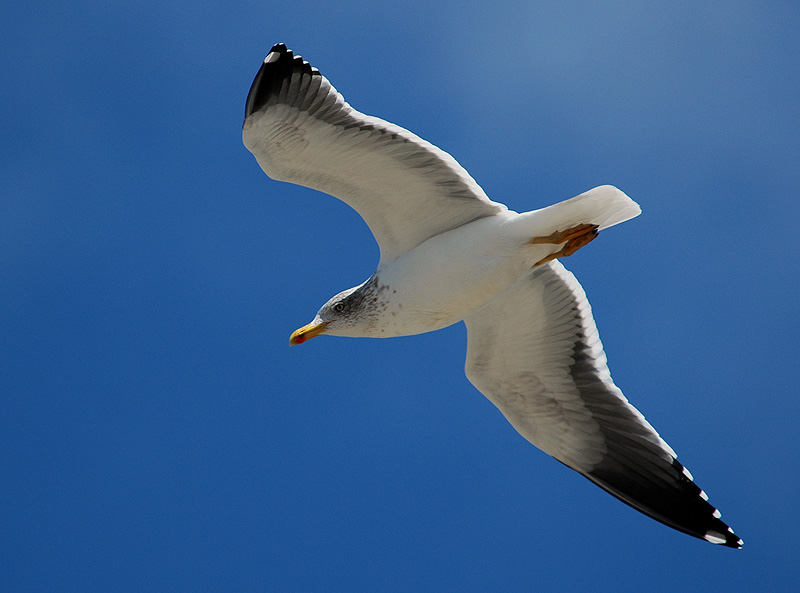 "photo ""the flight of the gull"" tags: nature, wild animals"