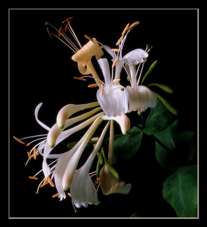 "photo ""honeysuckle"" tags: nature, flowers"