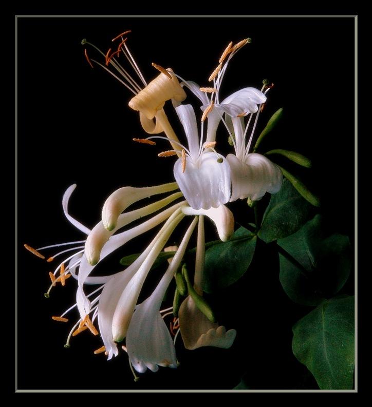 """фото """"honeysuckle"""" метки: природа, цветы"""