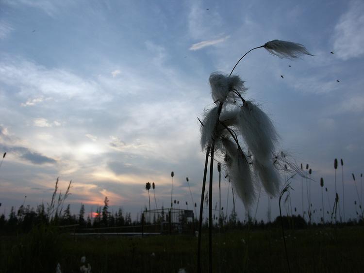"фото ""Пушица на закате"" метки: природа, пейзаж, закат, цветы"