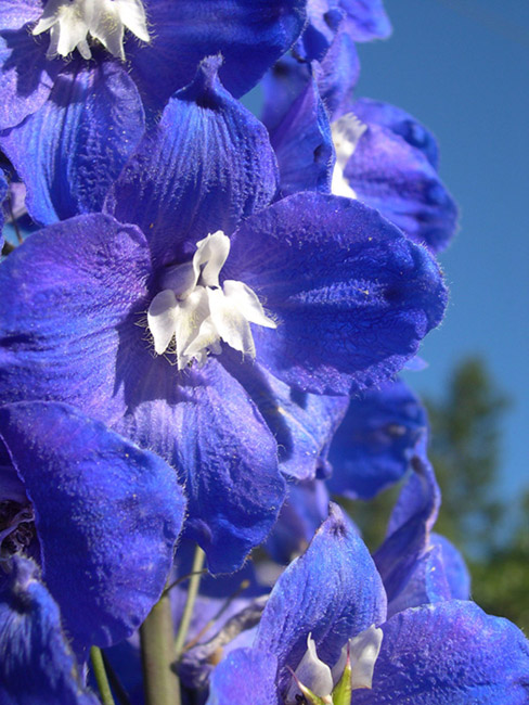 "photo ""The dark blue flower is similar to the sky"" tags: nature, flowers"
