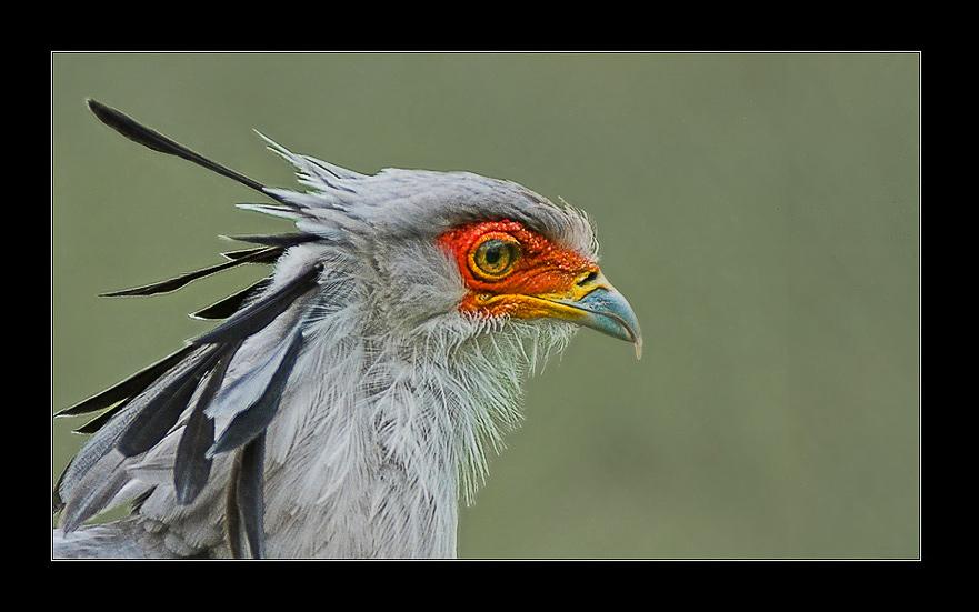 """фото """"Sagittarius serpentarius"""" метки: природа, дикие животные"""