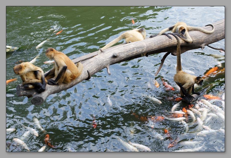 "photo ""Fisherman or Fishermonkey?"" tags: nature, genre, wild animals"