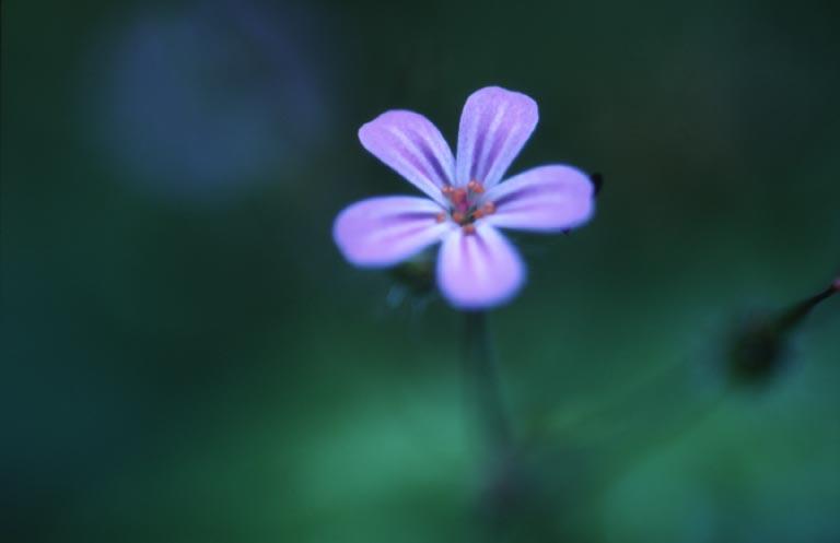 "photo ""Single Blue"" tags: nature, flowers"
