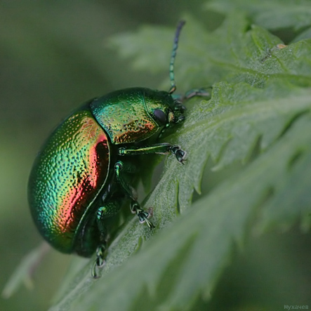"photo ""Chrysomelidae"" tags: nature, insect"