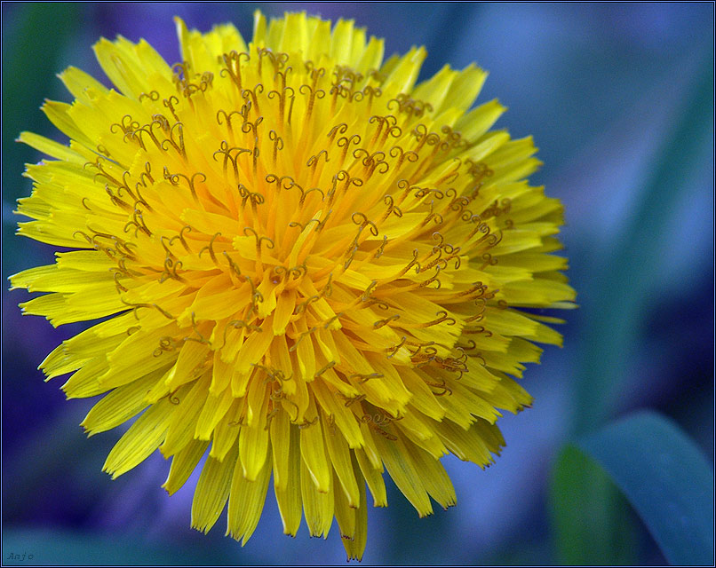 "photo ""sunny dandelion"" tags: nature, macro and close-up, flowers"