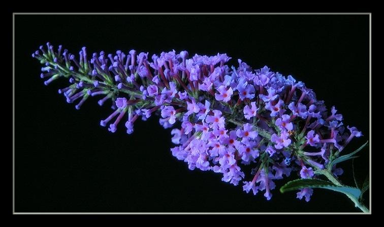 "photo ""buddlia daviddii"" tags: nature, flowers"