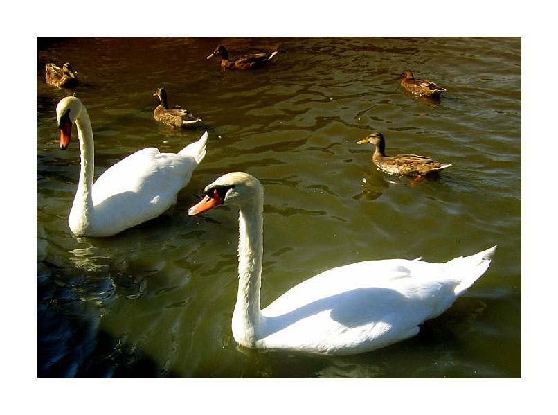 "photo ""Swans and Ducks"" tags: misc.,"