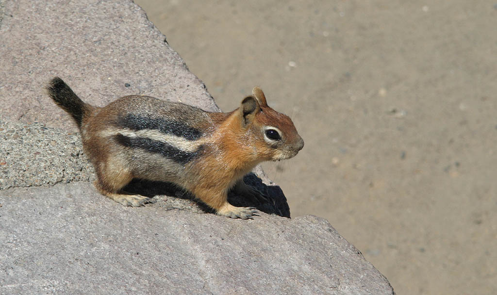 "photo ""Alvin The Ham"" tags: nature, wild animals"