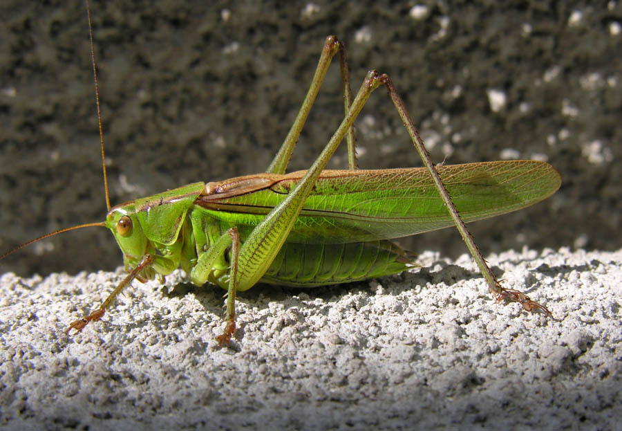 "photo ""Grasshopper"" tags: nature, insect"