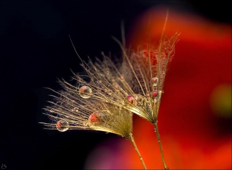 """фото """"коктейль"""" метки: макро и крупный план, природа, цветы"""