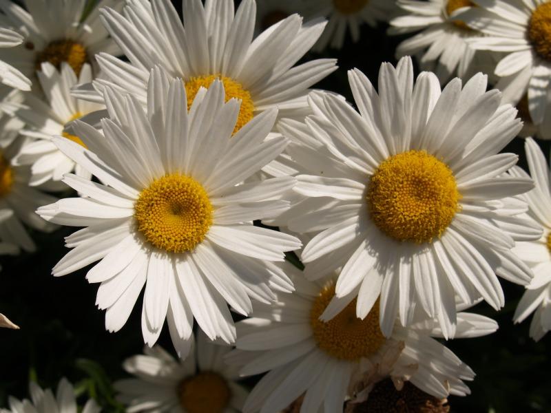 "фото ""Sunflowers"" метки: природа, путешествия, Австралия, цветы"