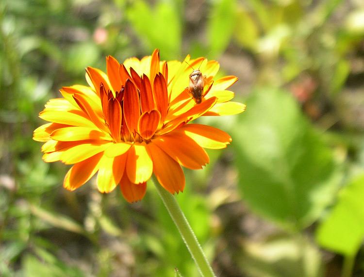 """фото """"солнечное лето"""" метки: природа, насекомое, цветы"""