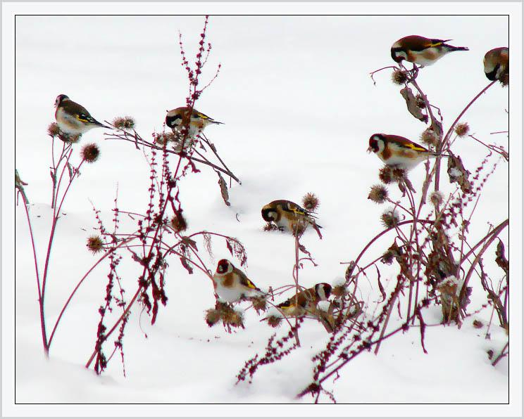 """фото """"Щеглы на репейнике"""" метки: природа, пейзаж, дикие животные, зима"""