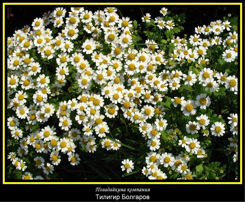 """фото """"Погадайкина компания.j"""" метки: природа, цветы"""