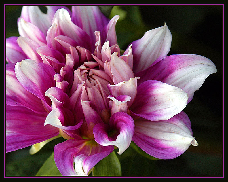 "photo ""Another Day Another Dahlia"" tags: nature, flowers"