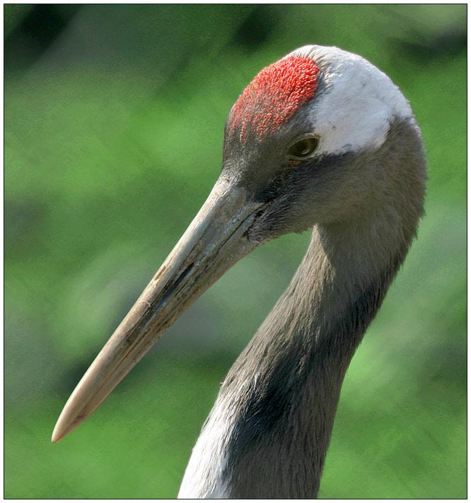 "photo ""Japanese crane"" tags: nature, wild animals"