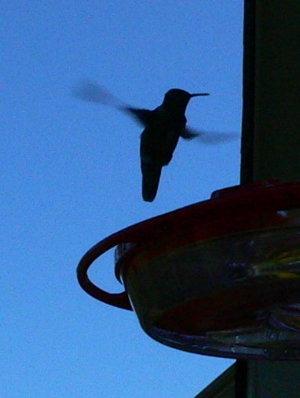 "photo ""Hummingbird at Dusk"" tags: nature, wild animals"