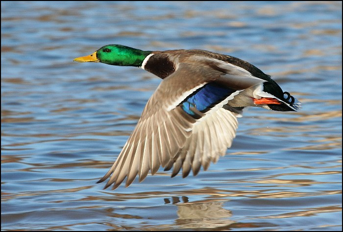 "photo ""Flying duck"" tags: nature, wild animals"