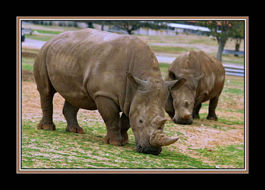 "photo ""The rhinoceros"" tags: nature, genre, wild animals"