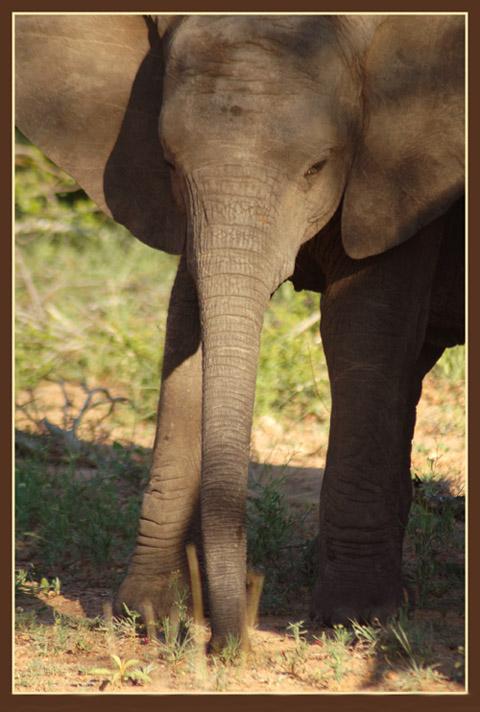 """фото """"Baby Elephant"""" метки: природа, дикие животные"""