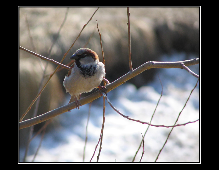 "photo ""The sparrow the sends us a song"" tags: nature, wild animals"