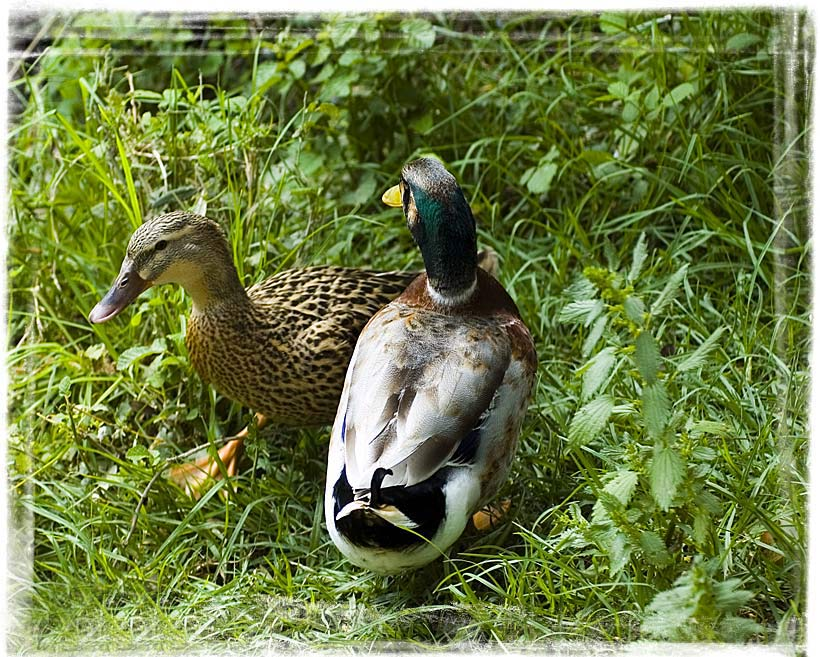 "photo ""Ducks in love"" tags: nature, wild animals"