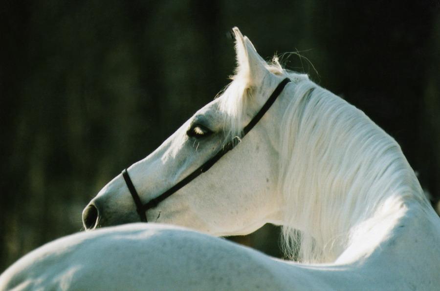 """фото """"Загадка белой лошади"""" метки: природа, портрет, домашние животные"""