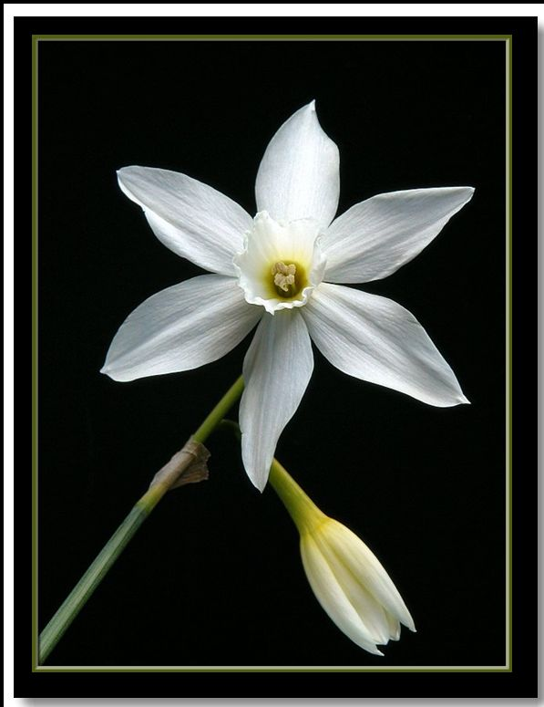 "photo ""narcissi star"" tags: nature, flowers"